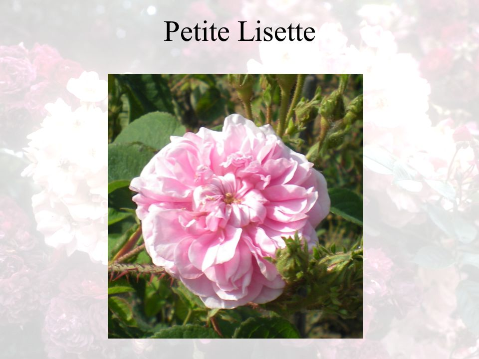Petite Lisette