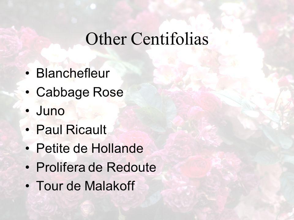 Other Centifolias Blanchefleur Cabbage Rose Juno Paul Ricault Petite de Hollande Prolifera de Redoute Tour de Malakoff