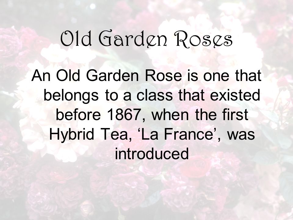 Old Garden Roses An Old Garden Rose is one that belongs to a class that existed before 1867, when the first Hybrid Tea, 'La France', was introduced