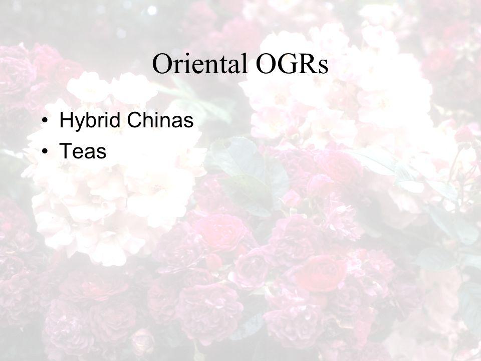 Oriental OGRs Hybrid Chinas Teas