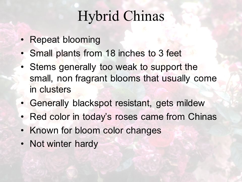 Hybrid Chinas Repeat blooming Small plants from 18 inches to 3 feet Stems generally too weak to support the small, non fragrant blooms that usually come in clusters Generally blackspot resistant, gets mildew Red color in today's roses came from Chinas Known for bloom color changes Not winter hardy