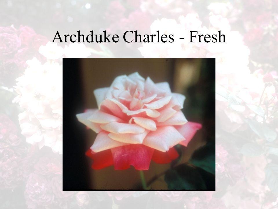 Archduke Charles - Fresh