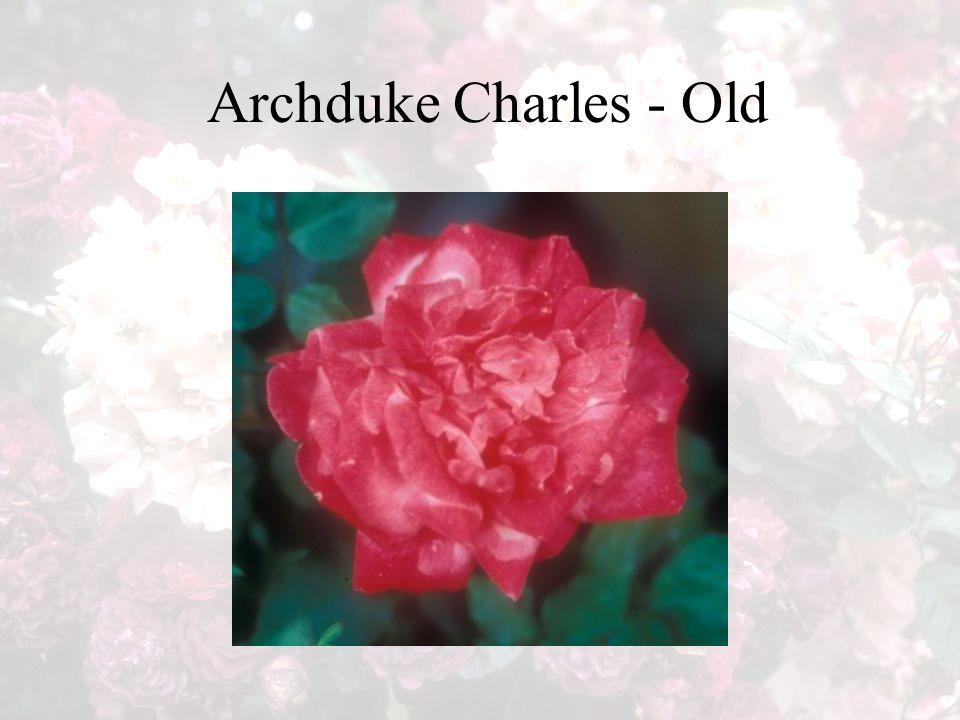 Archduke Charles - Old