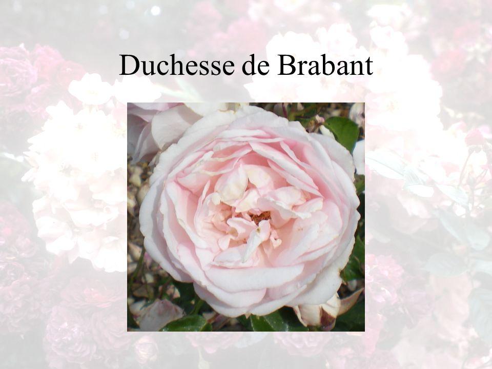 Duchesse de Brabant