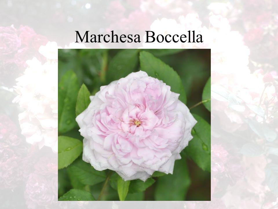 Marchesa Boccella