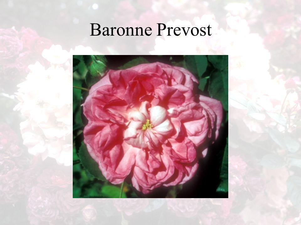 Baronne Prevost