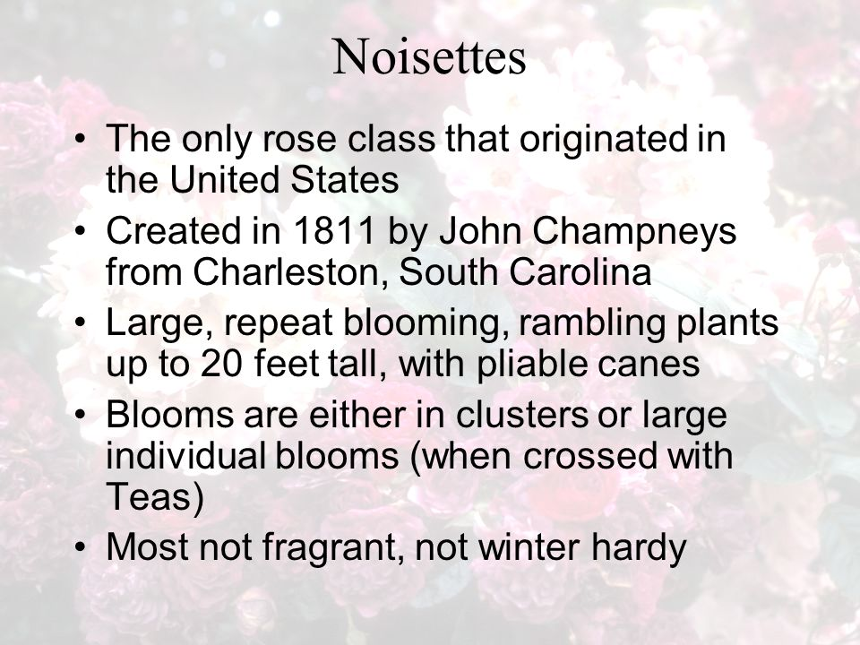 Noisettes The only rose class that originated in the United States Created in 1811 by John Champneys from Charleston, South Carolina Large, repeat blooming, rambling plants up to 20 feet tall, with pliable canes Blooms are either in clusters or large individual blooms (when crossed with Teas) Most not fragrant, not winter hardy