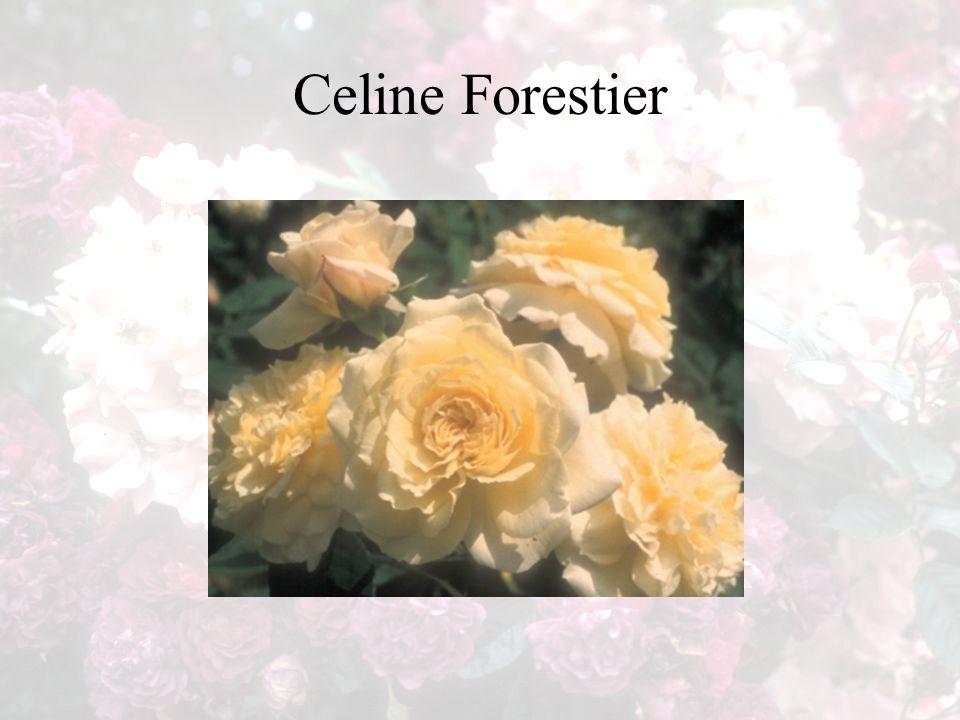 Celine Forestier