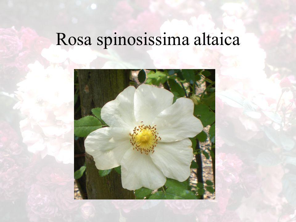 Rosa spinosissima altaica