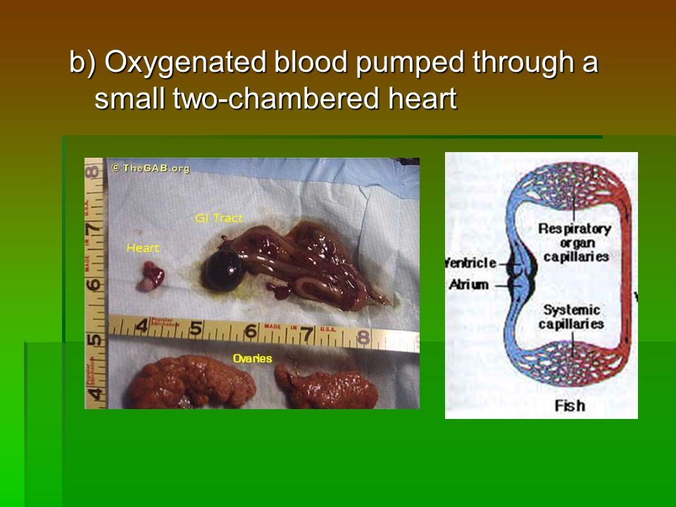 b) Oxygenated blood pumped through a small two-chambered heart