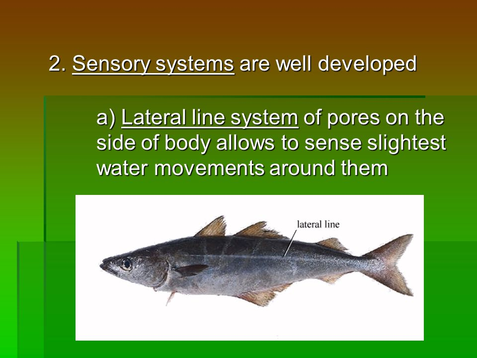 2. Sensory systems are well developed a) Lateral line system of pores on the side of body allows to sense slightest water movements around them