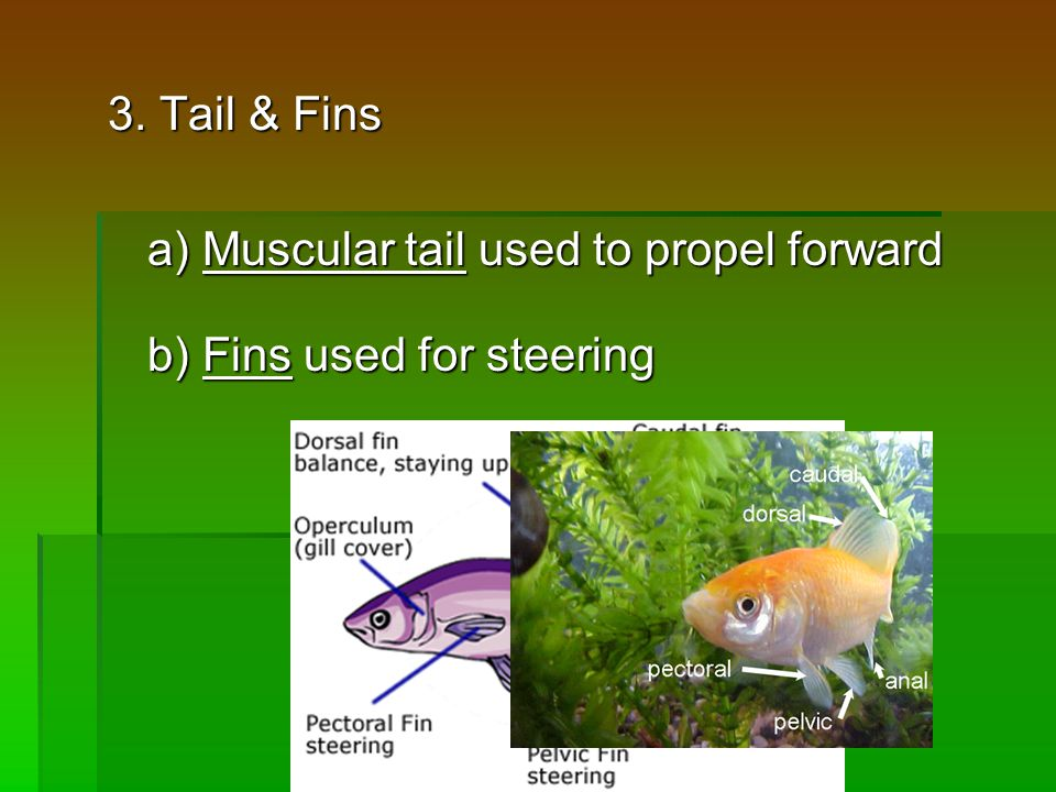 3. Tail & Fins a) Muscular tail used to propel forward b) Fins used for steering