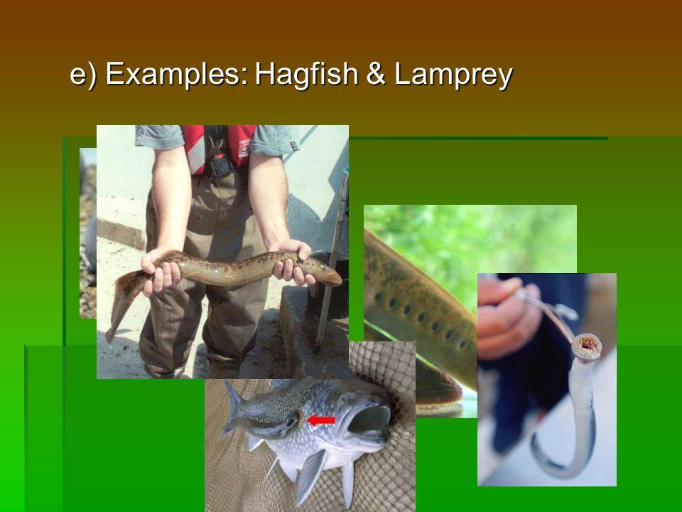 e) Examples: Hagfish & Lamprey