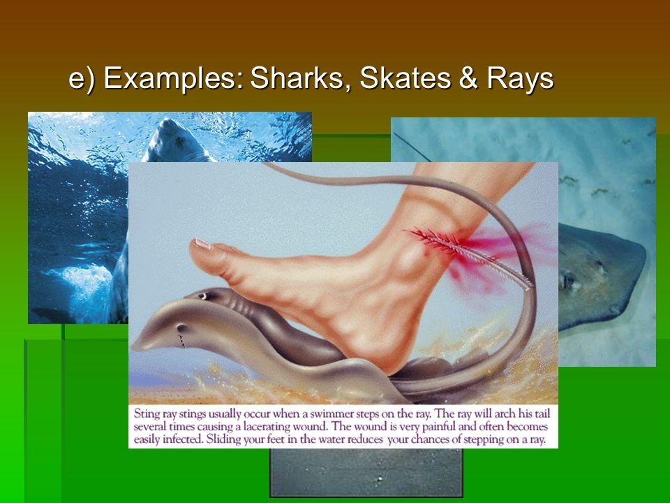 e) Examples: Sharks, Skates & Rays