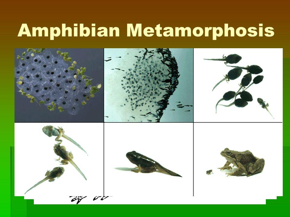 Amphibian Metamorphosis