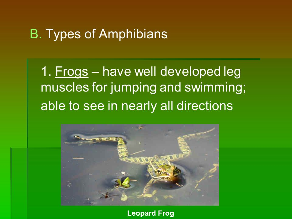 B. Types of Amphibians 1. Frogs – have well developed leg muscles for jumping and swimming; able to see in nearly all directions Leopard Frog