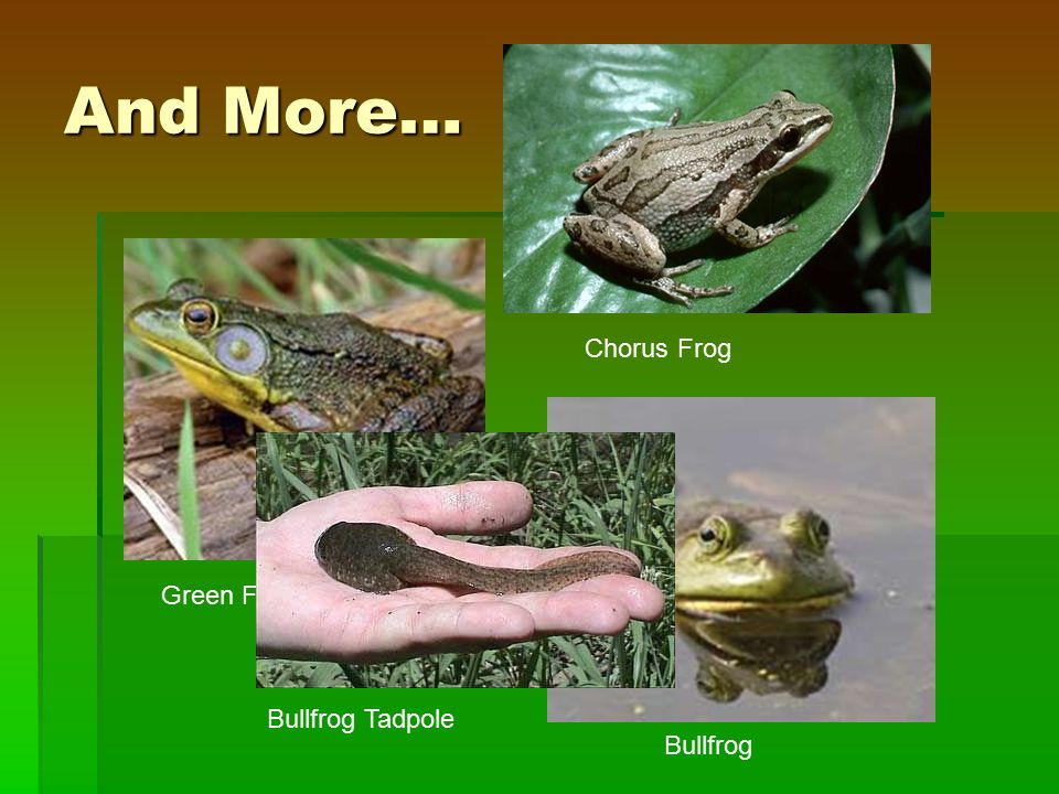 And More… Green Frog Chorus Frog Bullfrog Bullfrog Tadpole