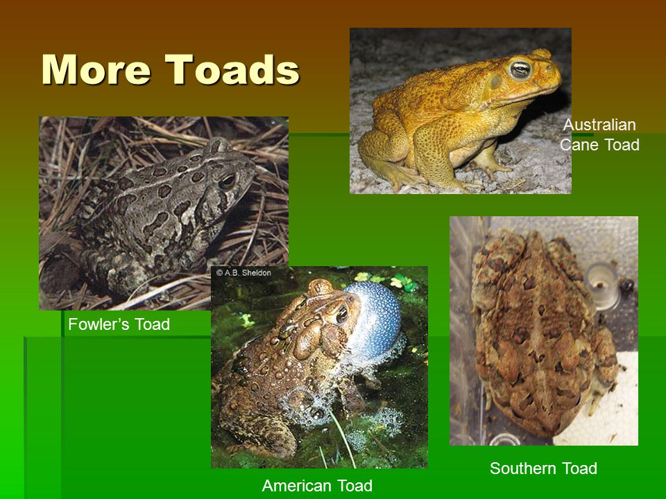 More Toads Fowler's Toad Southern Toad Australian Cane Toad American Toad