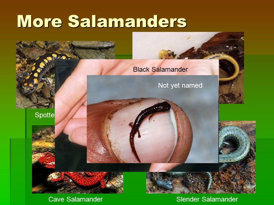 More Salamanders Spotted Salamander 3-lined Salamander Cave SalamanderSlender Salamander Black Salamander Not yet named