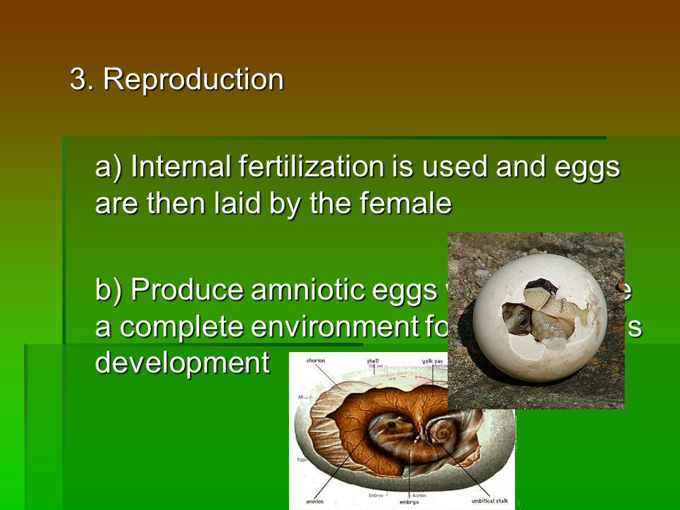 3. Reproduction a) Internal fertilization is used and eggs are then laid by the female b) Produce amniotic eggs which provide a complete environment f
