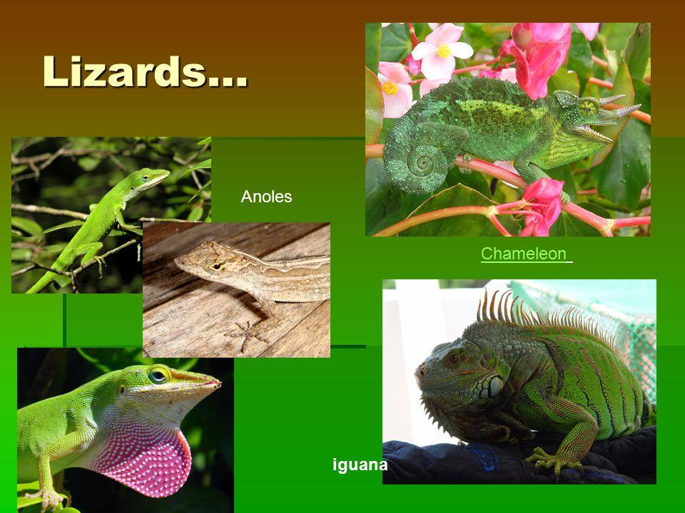 Lizards… Chameleon Anoles iguana