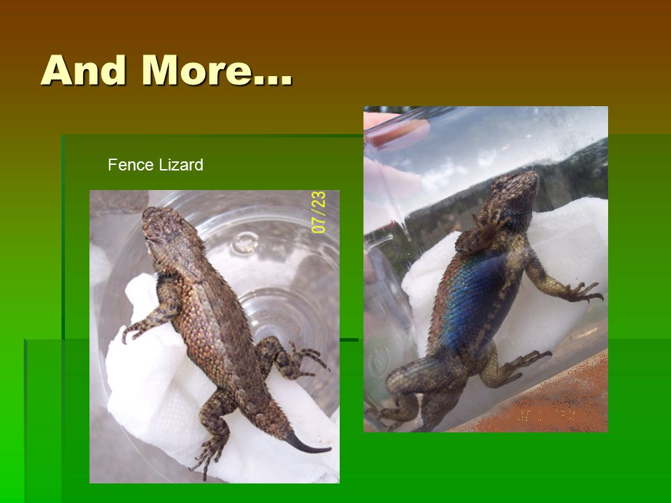 And More… Fence Lizard