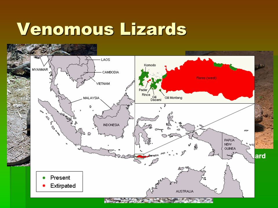 Venomous Lizards Beaded Lizard Gila Monster Komodo Dragon