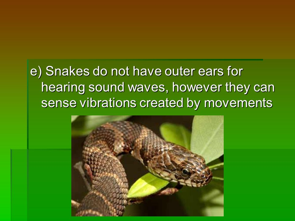 e) Snakes do not have outer ears for hearing sound waves, however they can sense vibrations created by movements