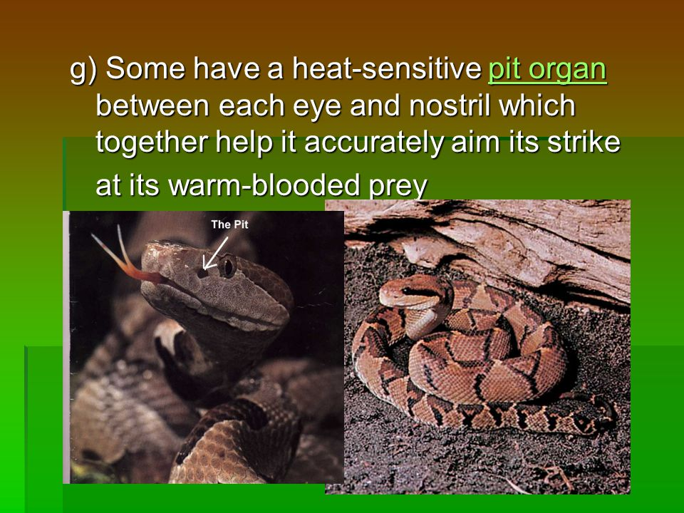 g) Some have a heat-sensitive pit organ between each eye and nostril which together help it accurately aim its strike pit organpit organ at its warm-blooded prey