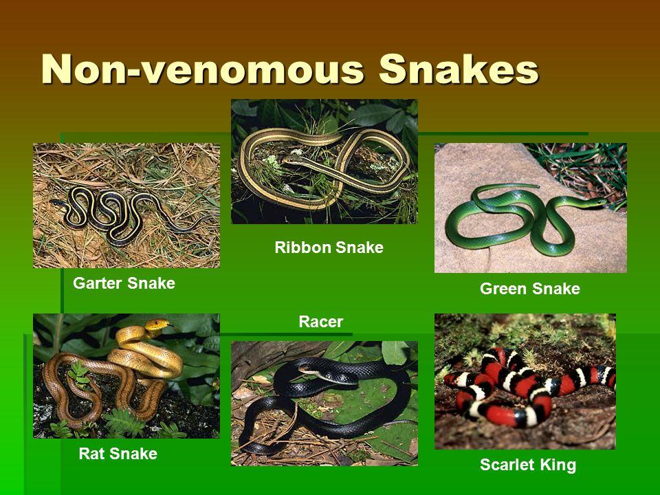 Non-venomous Snakes Garter Snake Ribbon Snake Rat Snake Racer Green Snake Scarlet King