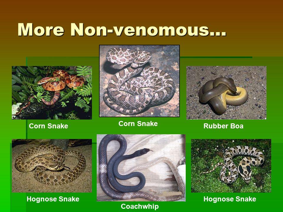 More Non-venomous… Corn Snake Rubber Boa Hognose Snake Corn Snake Hognose Snake Coachwhip