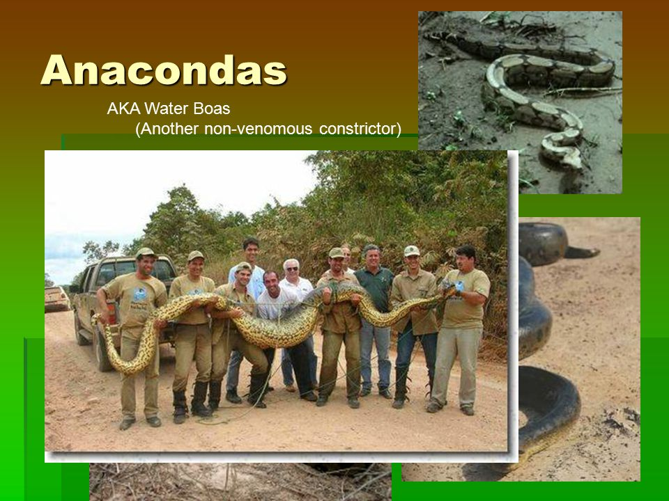 Anacondas AKA Water Boas (Another non-venomous constrictor)