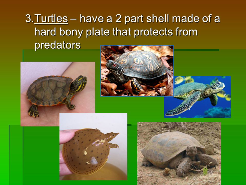 3.Turtles – have a 2 part shell made of a hard bony plate that protects from predators