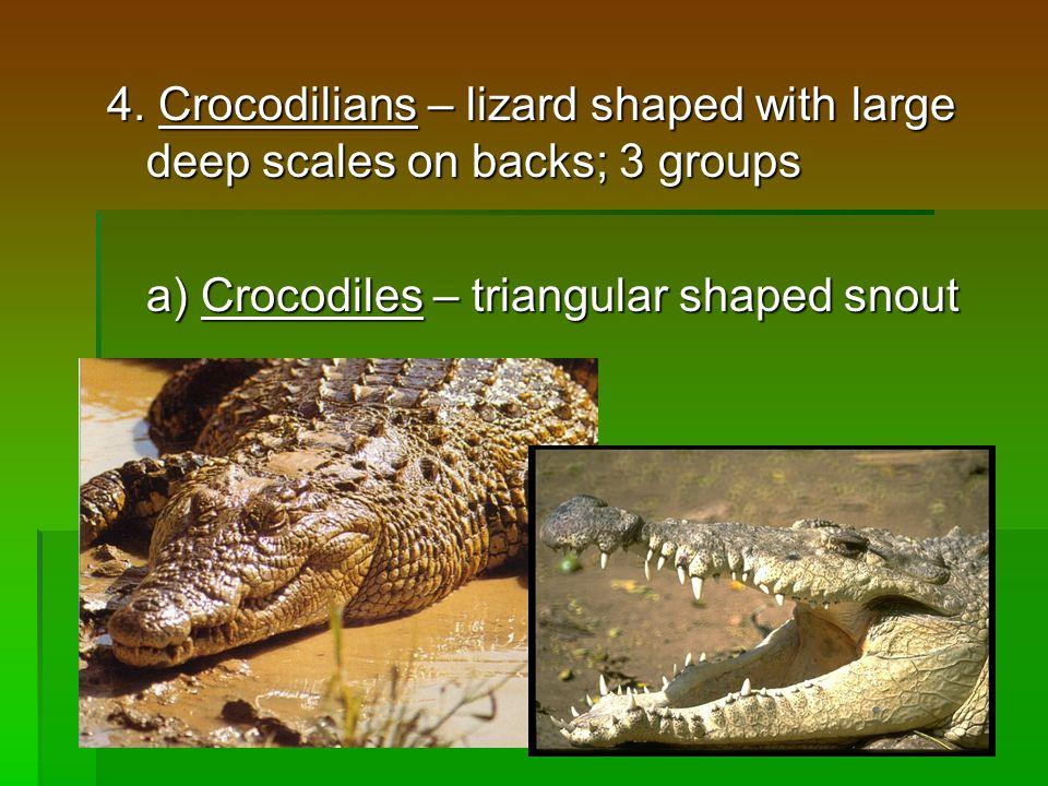 4. Crocodilians – lizard shaped with large deep scales on backs; 3 groups a) Crocodiles – triangular shaped snout