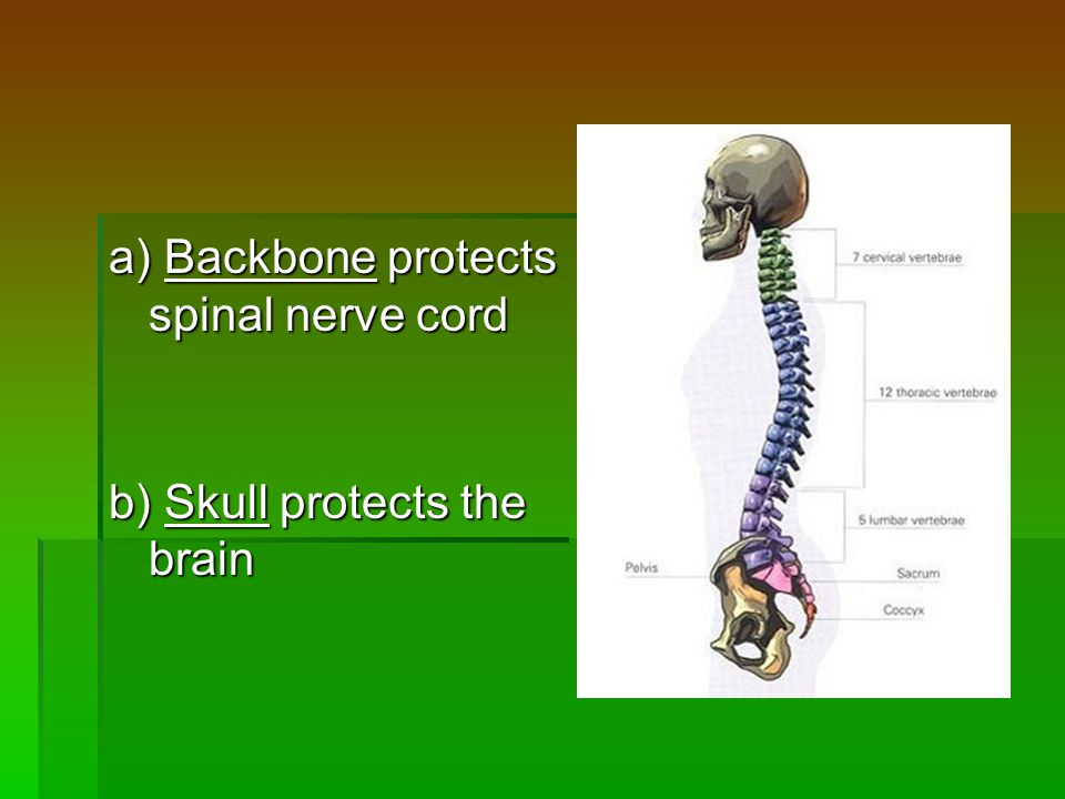 a) Backbone protects spinal nerve cord b) Skull protects the brain