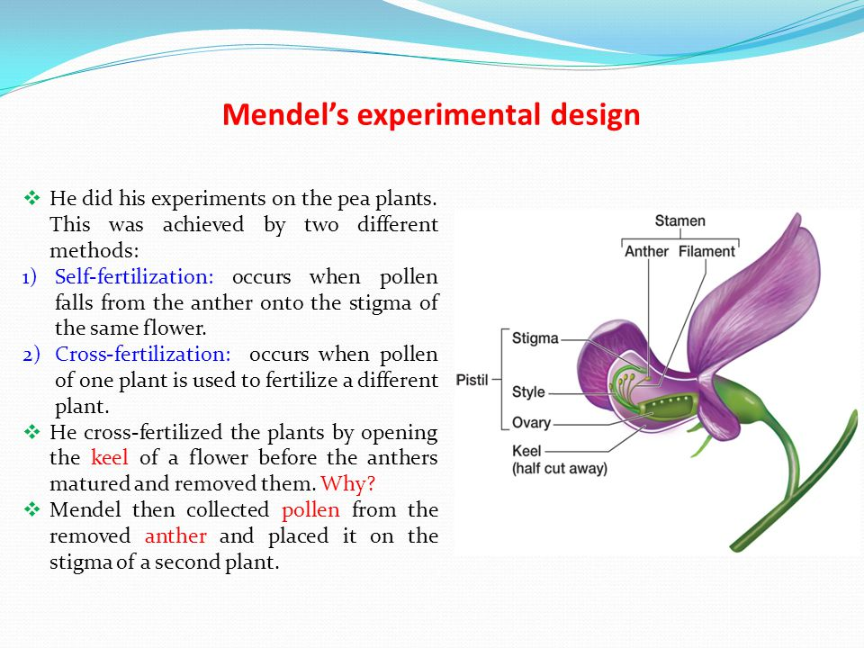 Mendel's experimental design  He did his experiments on the pea plants. This was achieved by two different methods: 1)Self-fertilization: occurs when