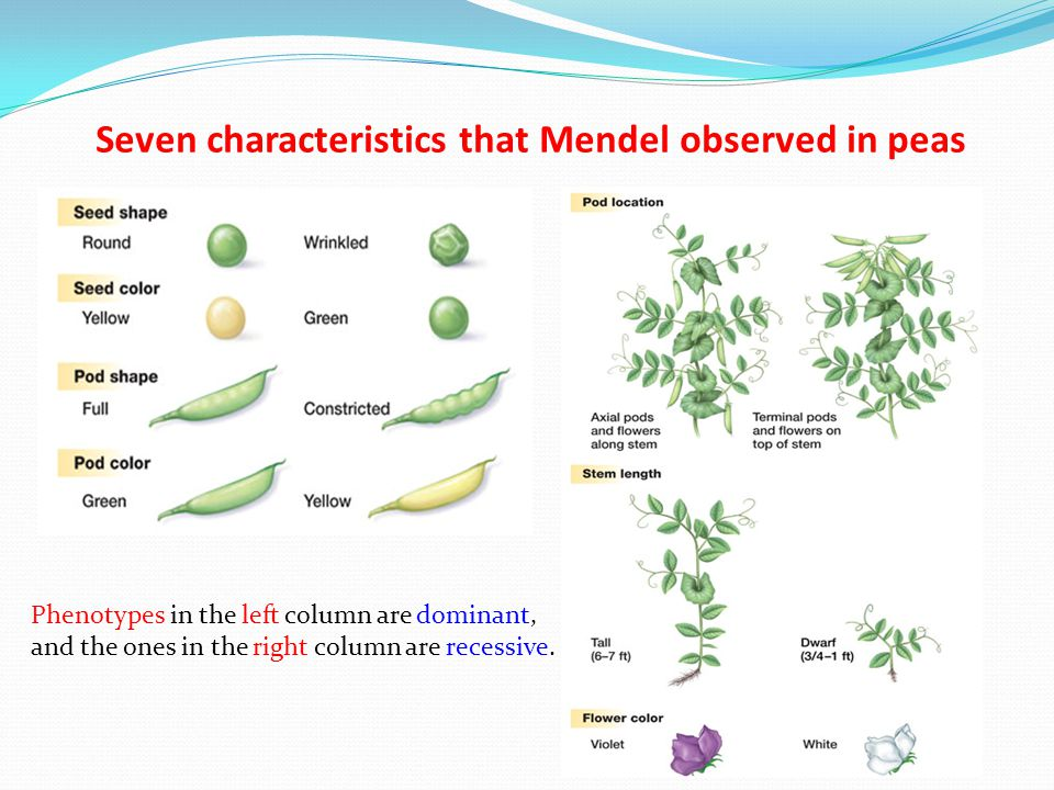 Seven characteristics that Mendel observed in peas Phenotypes in the left column are dominant, and the ones in the right column are recessive.