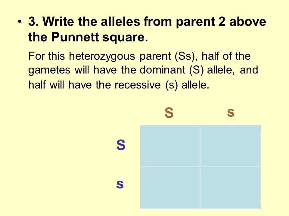 3. Write the alleles from parent 2 above the Punnett square. For this heterozygous parent (Ss), half of the gametes will have the dominant (S) allele,
