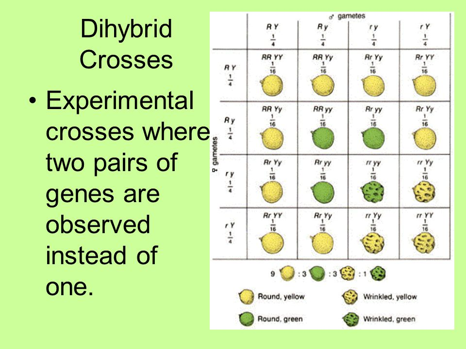 Experimental crosses where two pairs of genes are observed instead of one. Dihybrid Crosses