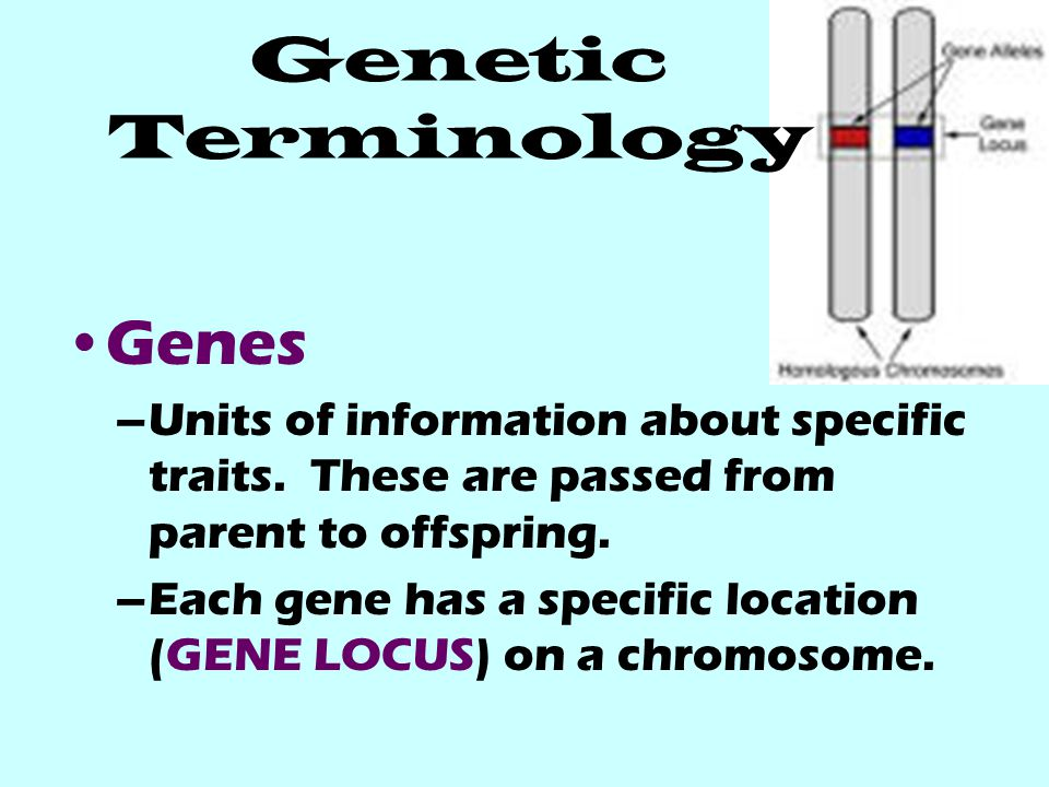 Genetic Terminology Genes –Units of information about specific traits. These are passed from parent to offspring. –Each gene has a specific location (
