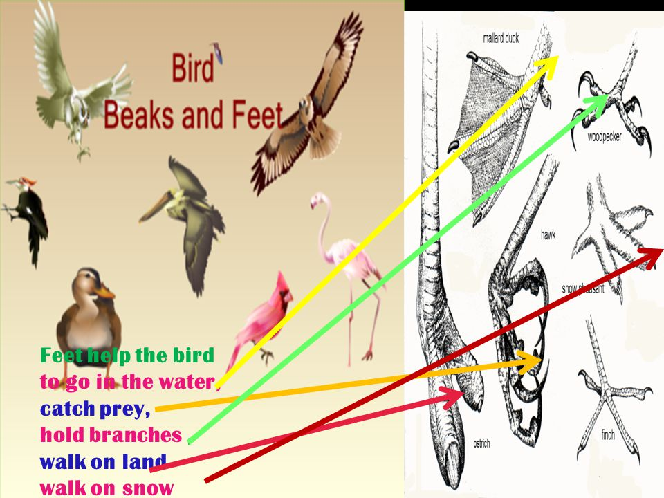 Beaks of birds are used tto tear and eat meat, tto make holes in wood tto suck nectar tto find worms from water tto break and crush seeds.