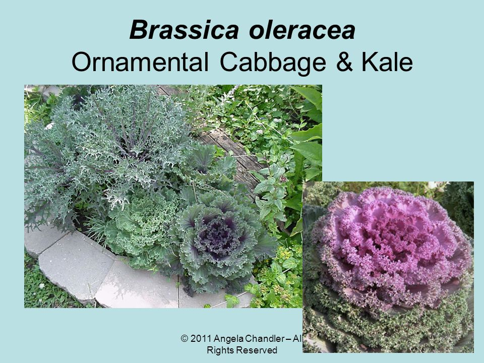 © 2011 Angela Chandler – All Rights Reserved Brassica oleracea Ornamental Cabbage & Kale