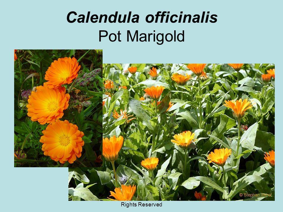 © 2011 Angela Chandler – All Rights Reserved Calendula officinalis Pot Marigold