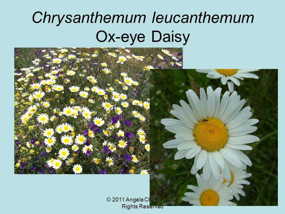 © 2011 Angela Chandler – All Rights Reserved Chrysanthemum leucanthemum Ox-eye Daisy