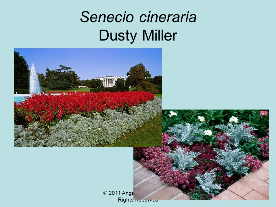© 2011 Angela Chandler – All Rights Reserved Senecio cineraria Dusty Miller