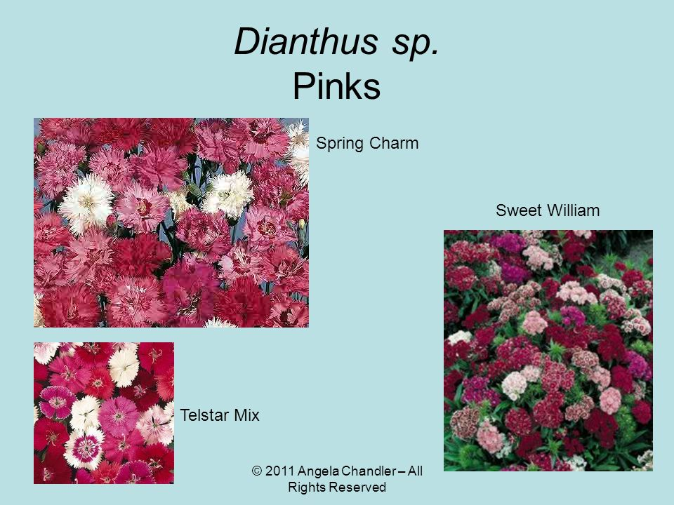 © 2011 Angela Chandler – All Rights Reserved Dianthus sp.