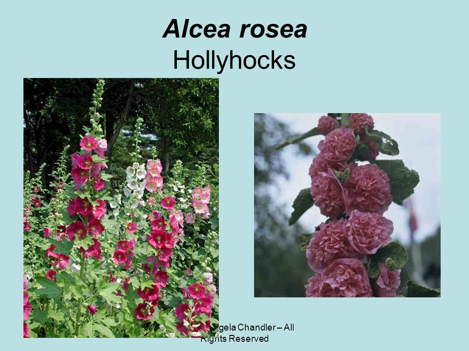 © 2011 Angela Chandler – All Rights Reserved Alcea rosea Hollyhocks