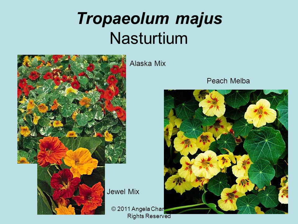 © 2011 Angela Chandler – All Rights Reserved Tropaeolum majus Nasturtium Peach Melba Alaska Mix Jewel Mix