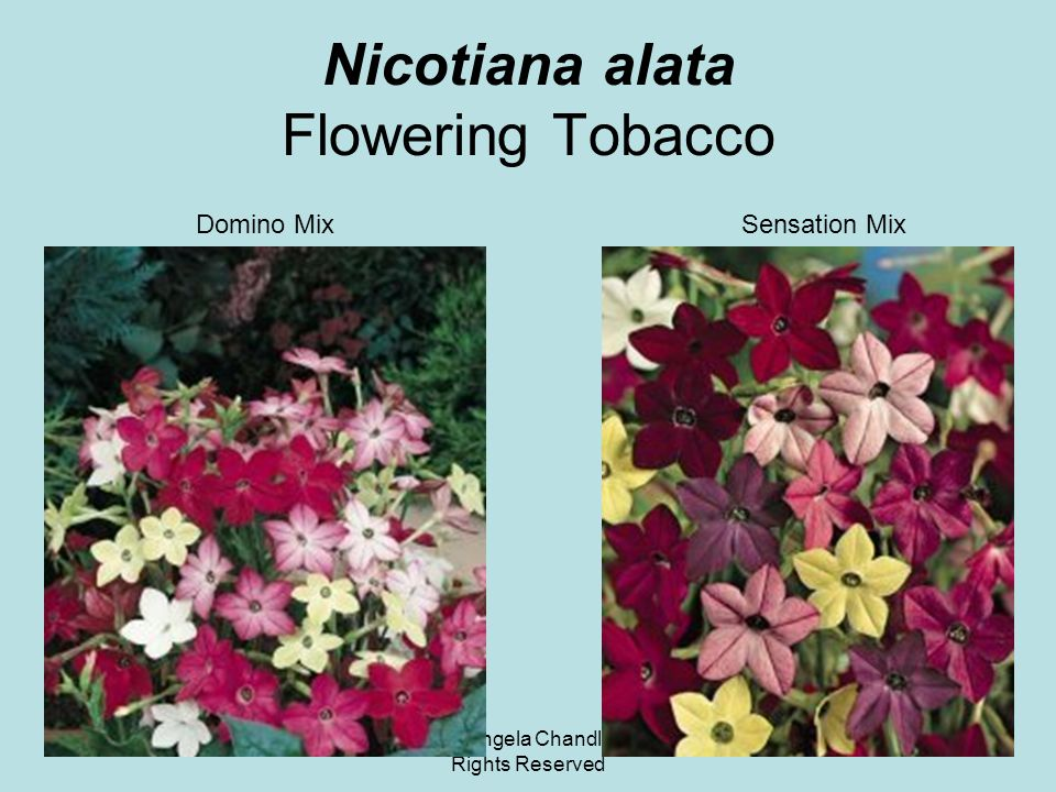 © 2011 Angela Chandler – All Rights Reserved Nicotiana alata Flowering Tobacco Domino MixSensation Mix