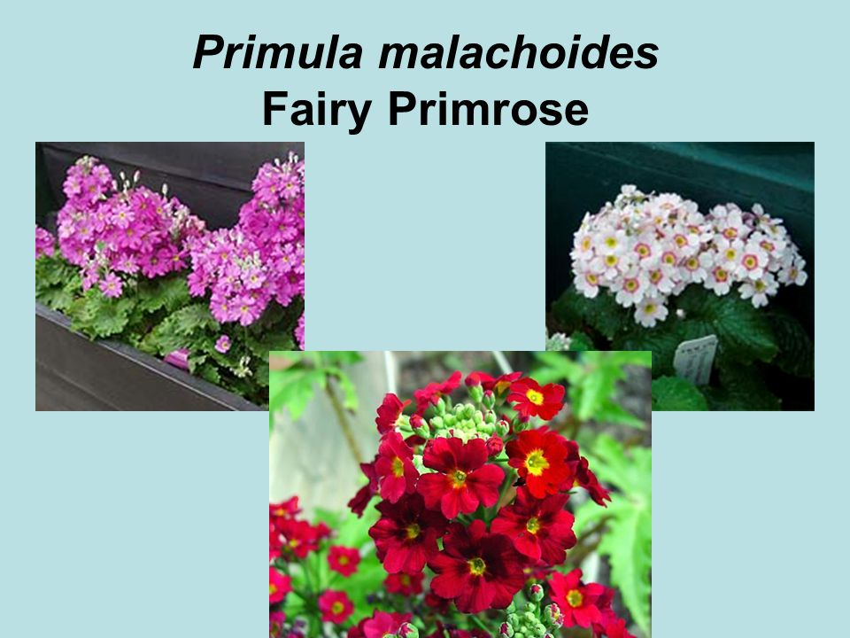 © 2011 Angela Chandler – All Rights Reserved Primula malachoides Fairy Primrose